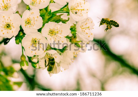 white blossoming flowers and bee on white background - stock photo