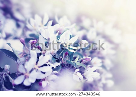 White blossoming flowers of tree in springtime. Nature beauty. Color toning effect applied. - stock photo