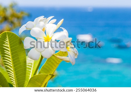 White blossoms of the Plumeria Obtusa, known as Frangipani bush with a bright tropical sea in the background - stock photo