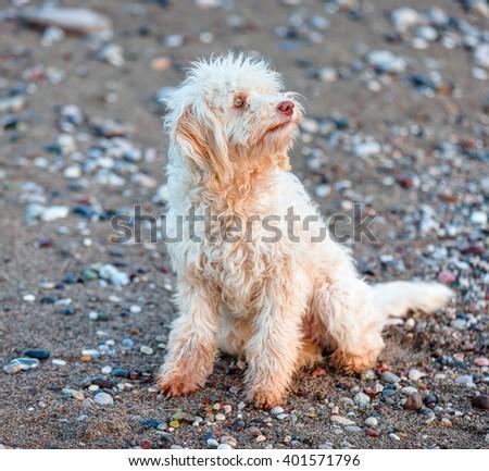 White boomer dog on the beach - stock photo