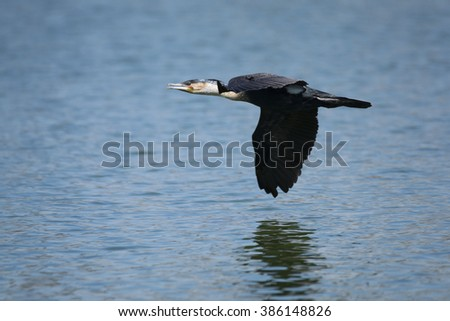White-breasted Cormorant in flight