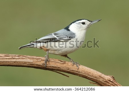 White-breasted Nuthatch (sitta carolinensis) on a tree branch with a green background - stock photo