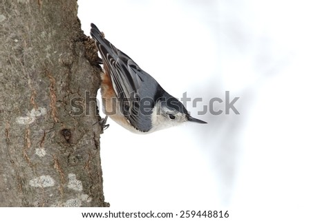 White-breasted Nuthatch (Sitta carolinensus) Perched on a Tree Trunk - Ontario, Canada - stock photo