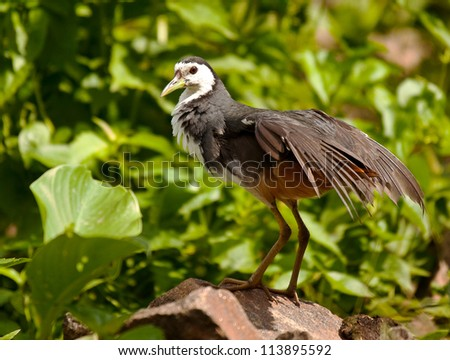 white breasted waterhen - stock photo