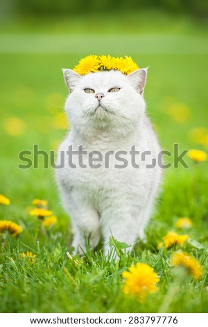 White british shorthair cat with a wreath of dandelions - stock photo