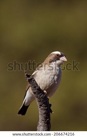 White-browed sparrow weaver; Plocepasser mahali  - stock photo