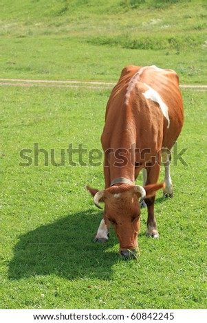 White-brown cow eating grass on meadow - stock photo