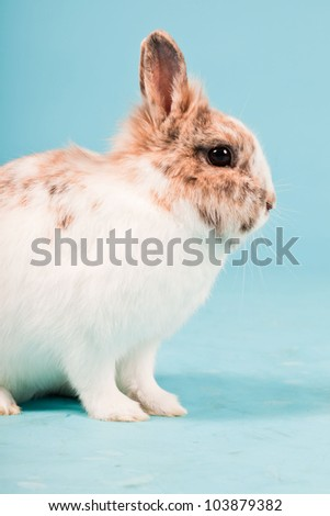 White brown rabbit isolated on blue background. Studio shot.