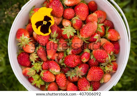 White bucket full of organic strawberries with bright yellow flower on green grass background. Garden harvest. Berries for healthy snack and dessert.