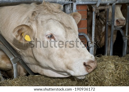 White bull fed in a Dutch stable - stock photo