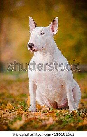 white bull terrier dog autumn portrait - stock photo