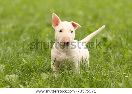 white bull terrier puppy in green grass - stock photo