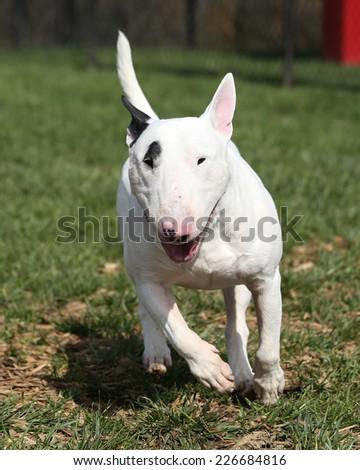 White bull terrier running through the park - stock photo