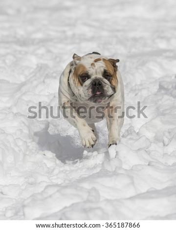 White bulldog running in the snow - stock photo