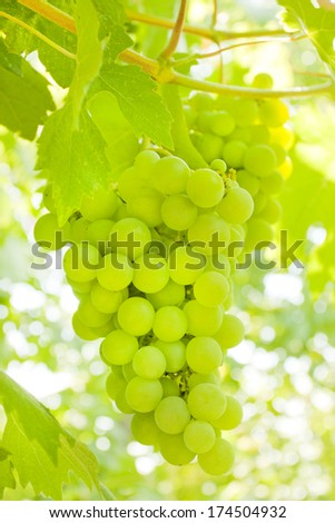White bunch of ripe grapes - stock photo