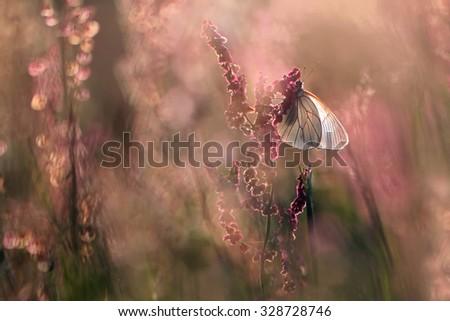 white butterfly Aporia crataegi on the pink clover  - stock photo