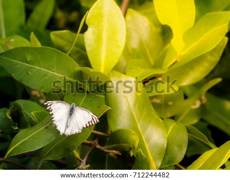 White butterfly (Chocolate Albatross) on leaf with the sunshine