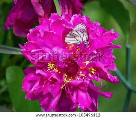 White butterfly hanging on the beautiful pink peony - stock photo