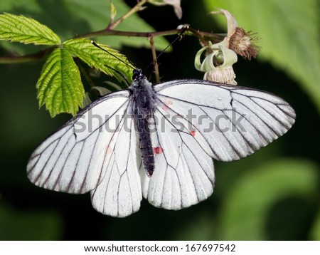 White butterfly on leaf of raspberries, Russia - stock photo