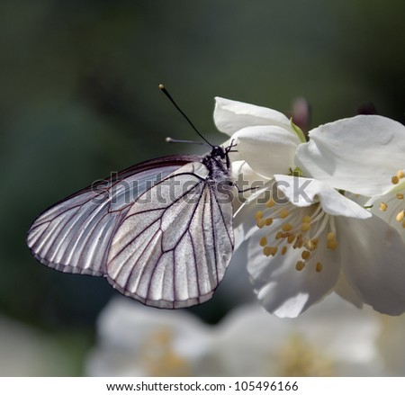 White butterfly sitting on a flower Jjsmine - stock photo