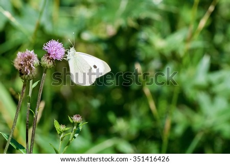 White butterfly sitting on the violet thistle