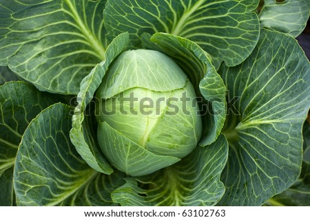 White cabbage head in a field - stock photo