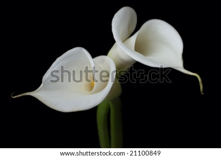 white calla lilies on black - stock photo