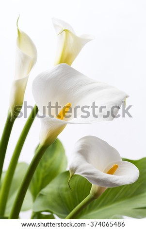White calla lily flowers in front of white background in vertical composition - stock photo