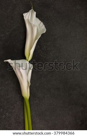 White Calla lily on dark background, top view - stock photo