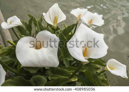 White Callas lilies at the corner of a pond - stock photo