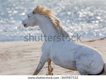 White Camargue Horse in the nature reserve in the Parc Regional de Camargue - Provence, France - stock photo