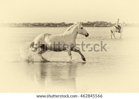 White Camargue Horse run in the swamps nature reserve in Parc Regional de Camargue - Provence, France (stylized retro)