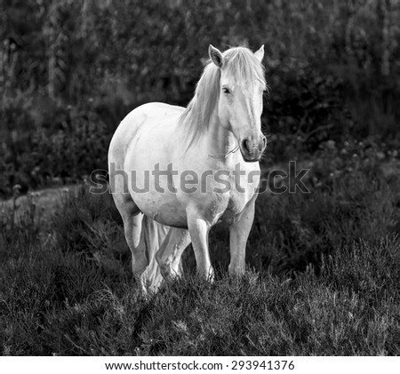 White Camargue Horse standing in the swamps nature reserve in Parc Regional de Camargue - Provence, France (black and white)  - stock photo
