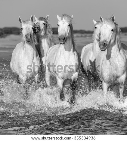 White Camargue Horses galloping along the beach in Parc Regional de Camargue - Provence, France (black and white) - stock photo