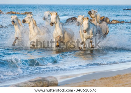 White Camargue Horses galloping through water in sunset light. Parc Regional de Camargue - Provence, France  - stock photo