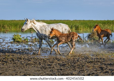 White Camargue Horses with foals are galoping in the swamps. Nature reserve in Parc Regional de Camargue - Provence, France - stock photo