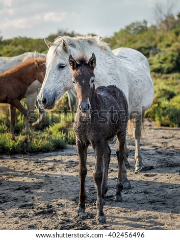 White Camargue Horses with foals grazing in the swamps. Nature reserve in Parc Regional de Camargue - Provence, France - stock photo