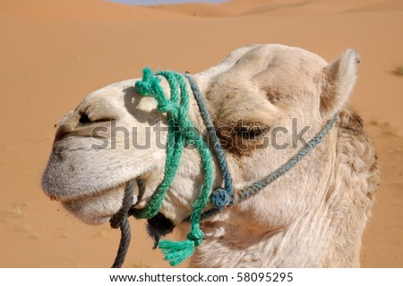 White camel head - stock photo