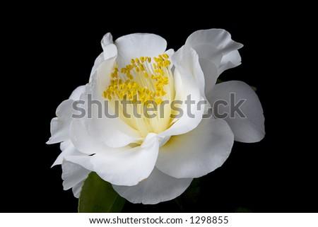 White Camellia 4 - stock photo