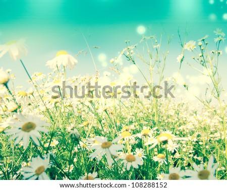 White camomile - stock photo