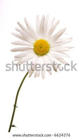 White camomile flower close-up against white background.