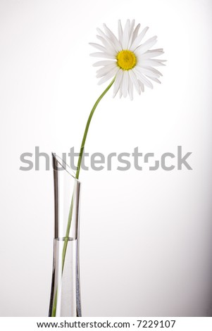 White camomile flower in glass transparent jug. - stock photo