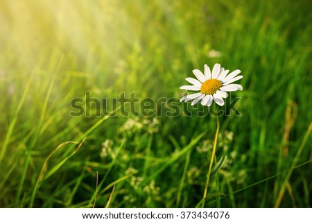 White camomile in sunny rays with green grass background. Free copyspace for your text - stock photo