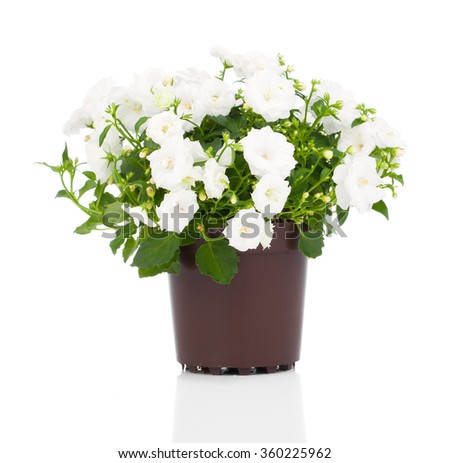 white Campanula terry flowers on a white background. - stock photo