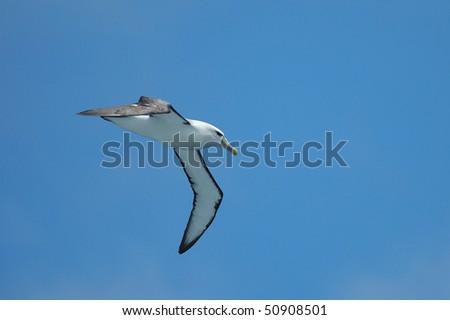 White-capped Albatross at Stewart Island, New Zealand - stock photo