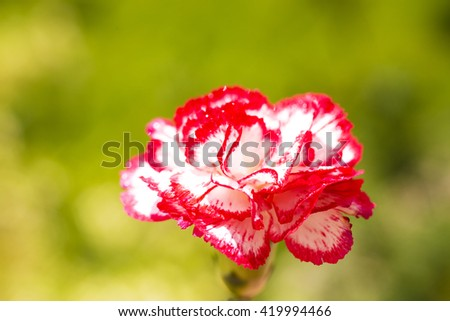 white carnation in garden , beautiful carnation , small flowers , nature , amazing flowers ,closeup , macro ,fresh flowers ,spring flowers , beautiful flowers ,white petals ,red and white flowers  - stock photo