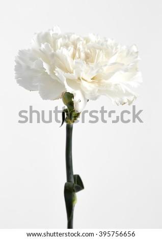 White carnation isolated on white background - stock photo
