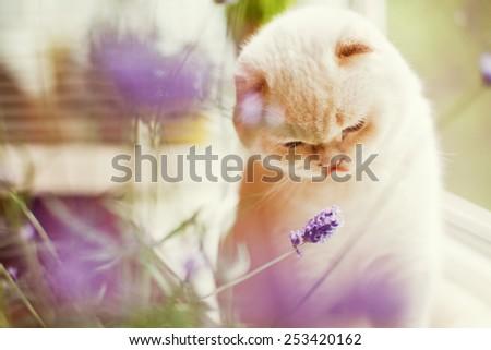white cat and purple  lavender - stock photo