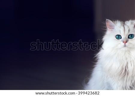 White cat chinchilla on a dark background - stock photo