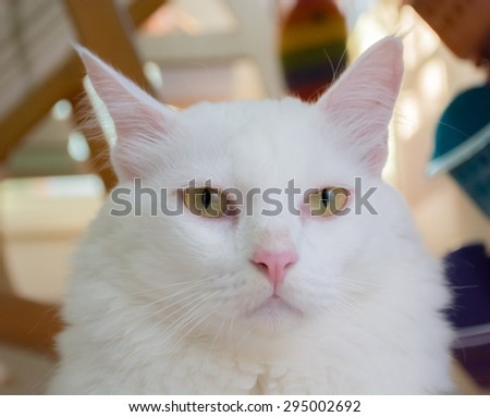 White cat is sitting on the ground and looking forward